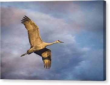Sandhill Crane In Flight Canvas Print by Priscilla Burgers