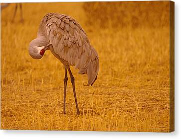 Sandhill Crane Preening Itself Canvas Print by Jeff Swan