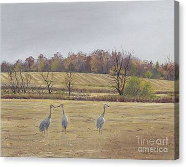 Sandhill Cranes Feeding In Field  Canvas Print by Jymme Golden