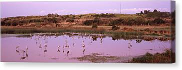 Sandhill Cranes Grus Canadensis Canvas Print by Panoramic Images