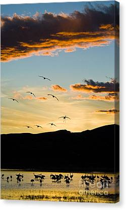 Sandhill Cranes In New Mexico Canvas Print by William H Mullins