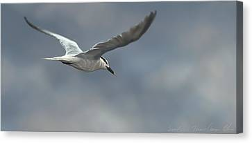 Sandwich Tern Canvas Print by Aaron Blaise