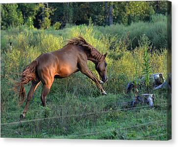 Sandy The Roan Cavorting  - C0094e Canvas Print by Paul Lyndon Phillips
