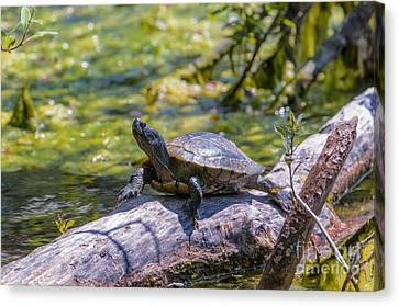 Sardis Pond Turtle Canvas Print by Sharon Talson