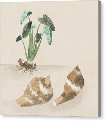 Satoimo Taro Potato  Canvas Print by Aged Pixel