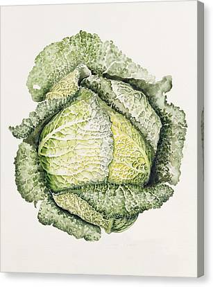 Savoy Cabbage  Canvas Print by Alison Cooper