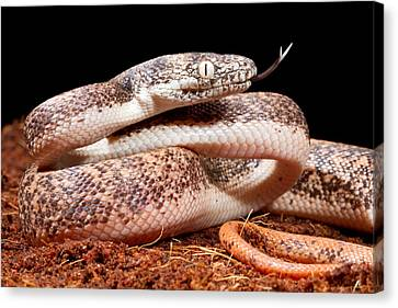 Savu Python In Defensive Posture Canvas Print by David Kenny