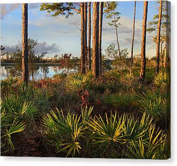 Saw Palmetto And Longleaf Pine Canvas Print by Tim Fitzharris
