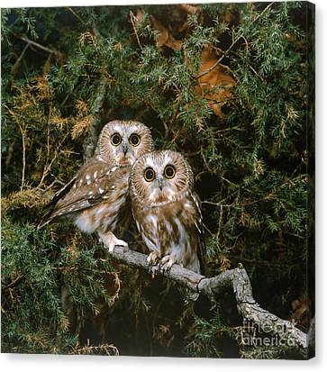 Saw-whet Owls Canvas Print by G Ronald Austing