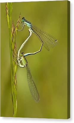 Scarce Blue-tailed Damselfly Pair Canvas Print by Marcel Klootwijk