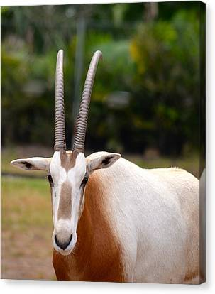 Scimitar Horned Oryx 2 Canvas Print by Richard Bryce and Family