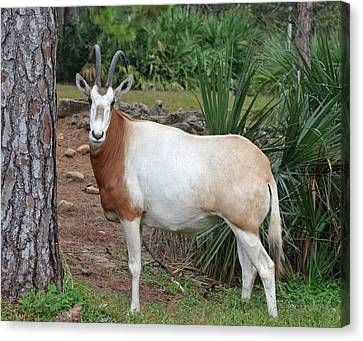 Scimitar Horned Oryx Canvas Print by Richard Bryce and Family
