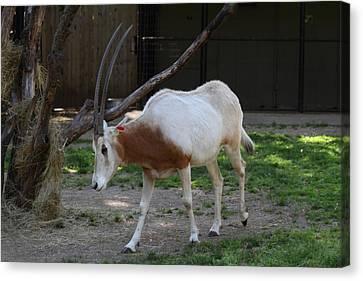 Scimitar Horned Oryz - National Zoo - 01132 Canvas Print by DC Photographer