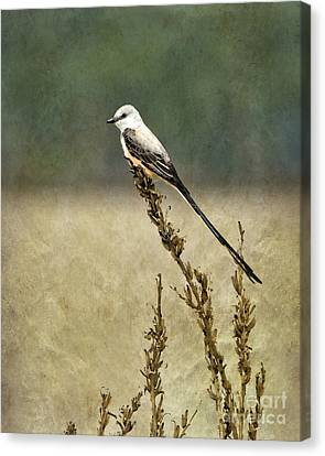 Scissortailed-flycatcher Canvas Print by Betty LaRue