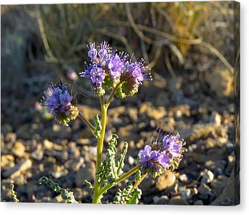 Scorpionweed Canvas Print by Feva  Fotos