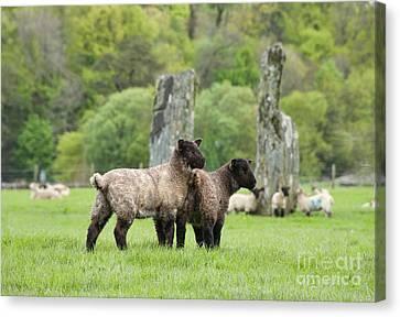 Scottish Sheep Canvas Print by Juli Scalzi