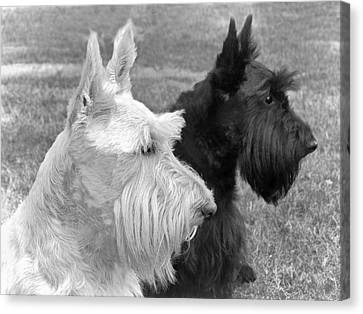 Scottish Terrier Dogs Black And White Canvas Print by Jennie Marie Schell