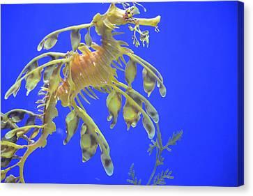 Sea Dragon Canvas Print by Randy King