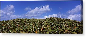 Sea Grapes Coccoloba Uvifera Canvas Print by Panoramic Images