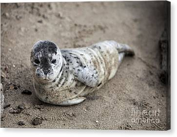 Seal Baby Canvas Print by David Millenheft