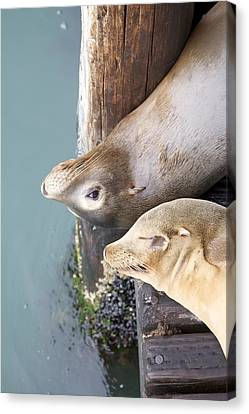 Sea Lions Canvas Print by Ashley Balkan