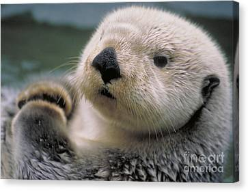 Sea Otter Canvas Print by Art Wolfe