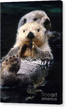 Sea Otter Pup Canvas Print by Mark Newman
