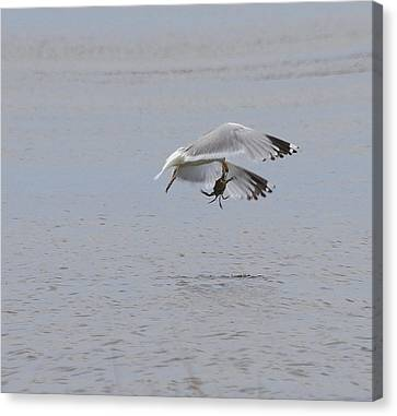 Seagull And Crab 2 Canvas Print by Cathy Lindsey