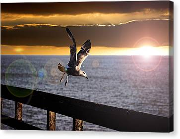 Seagull In Flight Canvas Print by Martin Newman