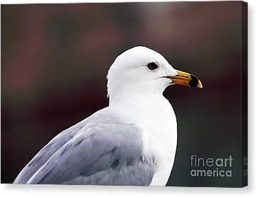 Seagull Canvas Print by John Rizzuto