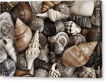 Seashells On The Beach Canvas Print by Carol Leigh
