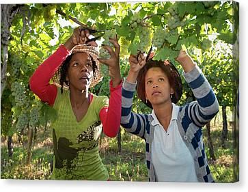 Seasonal Workers Harvesting Grapes Canvas Print by Tony Camacho