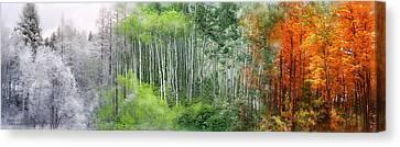Seasons Of The Aspen Canvas Print by Carol Cavalaris