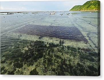 Seaweed Farming, Bali Canvas Print by Science Photo Library