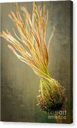 Seed Head Of Dryas Octopetala Canvas Print by Heiko Koehrer-Wagner