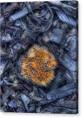 Seed Pod Canvas Print by Tom Mc Nemar