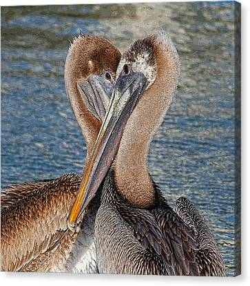 Eye 2 Eye - Heart 2 Heart - Brown Pelican Canvas Print by HH Photography of Florida