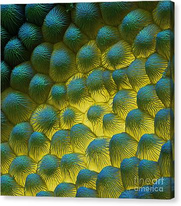 Sem Of Rapeseed Flower Canvas Print by Eye of Science