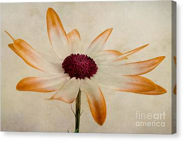 Senetti Pericallis Orange Tip Canvas Print by John Edwards