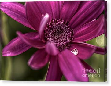 Senetti Water Droplet Canvas Print by Andrew Pounder