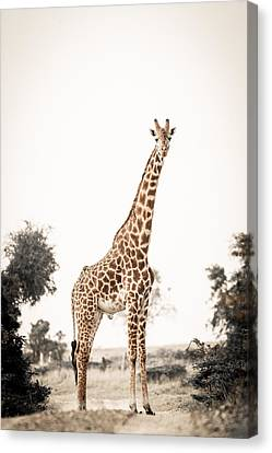 Sentinal Giraffe Canvas Print by Mike Gaudaur