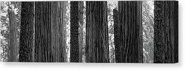 Sequoia Grove Sequoia National Park Canvas Print by Panoramic Images