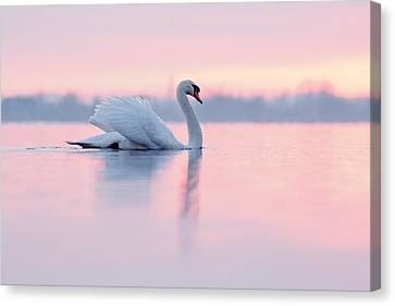 Serenity   Mute Swan At Sunset Canvas Print by Roeselien Raimond