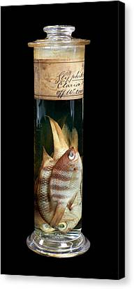 Sergeant Major Fish Canvas Print by Natural History Museum, London