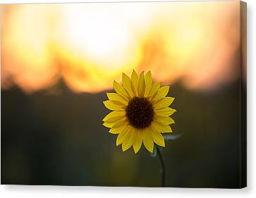 Setting Sun Flower Canvas Print by Peter Tellone