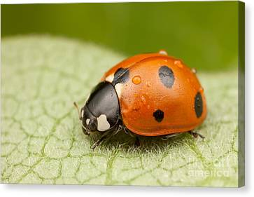 Seven-spotted Lady Beetle II Canvas Print by Clarence Holmes