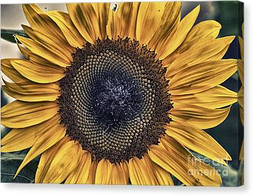 Shabby Chic Sunflower Canvas Print by Cris Hayes
