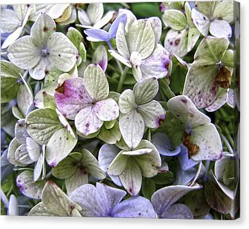 Shabby Hydrangea Canvas Print by Rose  Fleming