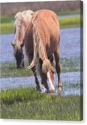 Shackleford Banks Ponies 2014 13 Canvas Print by Cathy Lindsey