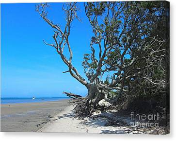 Shackleford Banks Tree 2 Canvas Print by Cathy Lindsey